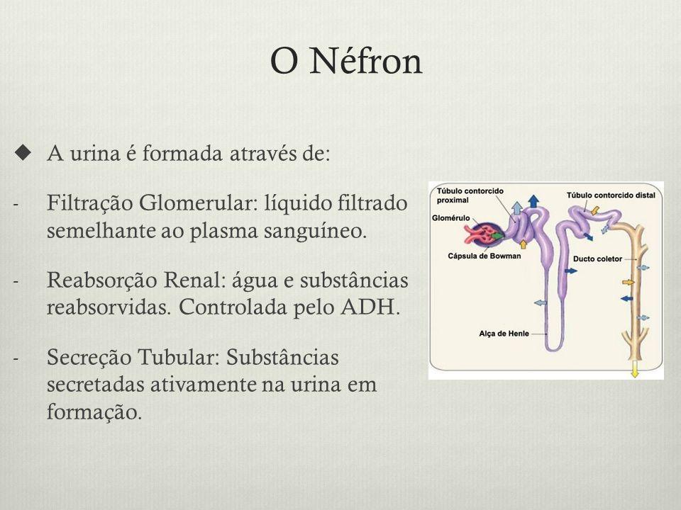 O Néfron A urina é formada através de: - Filtração Glomerular: líquido filtrado semelhante ao plasma sanguíneo.