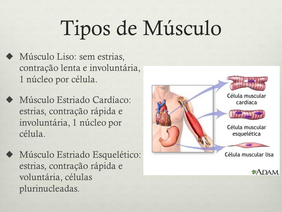 Tipos de Músculo Músculo Liso: sem estrias, contração lenta e involuntária, 1 núcleo por célula.