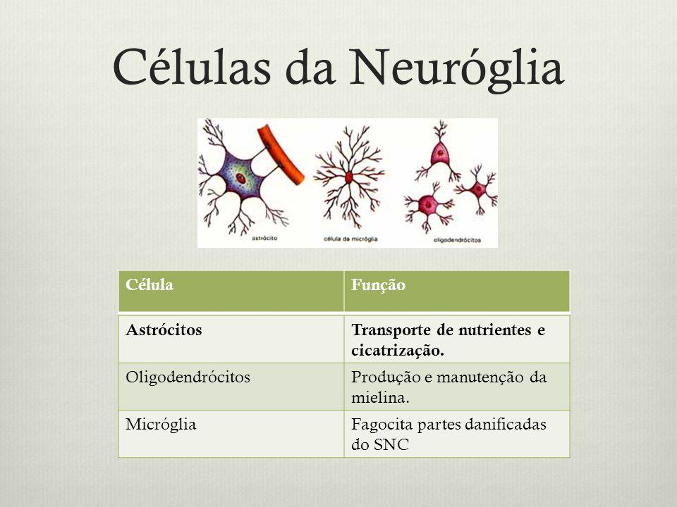 Células da Neuróglia AstrócitosTransporte de nutrientes e cicatrização.