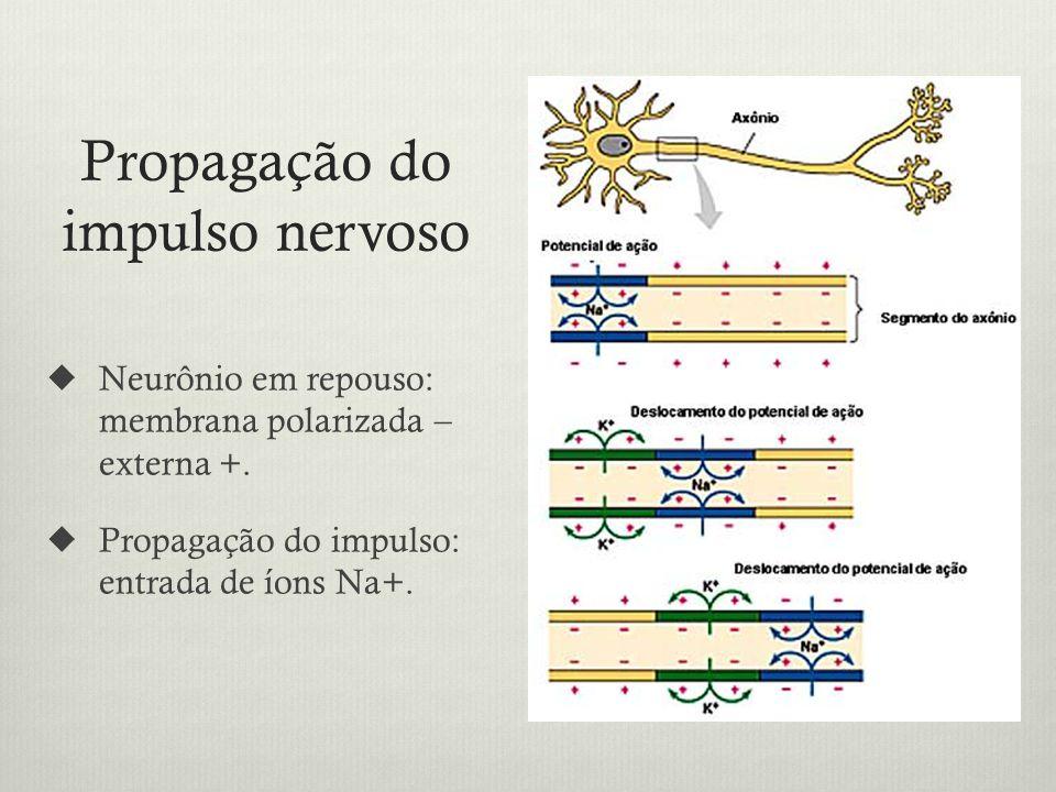 Propagação do impulso nervoso Neurônio em repouso: membrana polarizada – externa +.