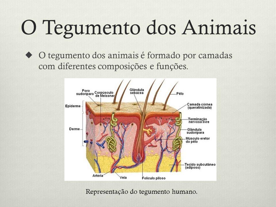 O Tegumento dos Animais O tegumento dos animais é formado por camadas com diferentes composições e funções.
