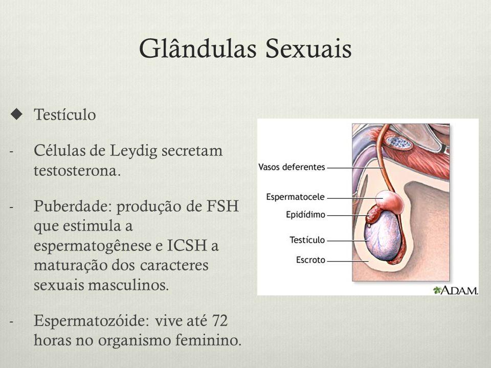 Glândulas Sexuais Testículo - Células de Leydig secretam testosterona.