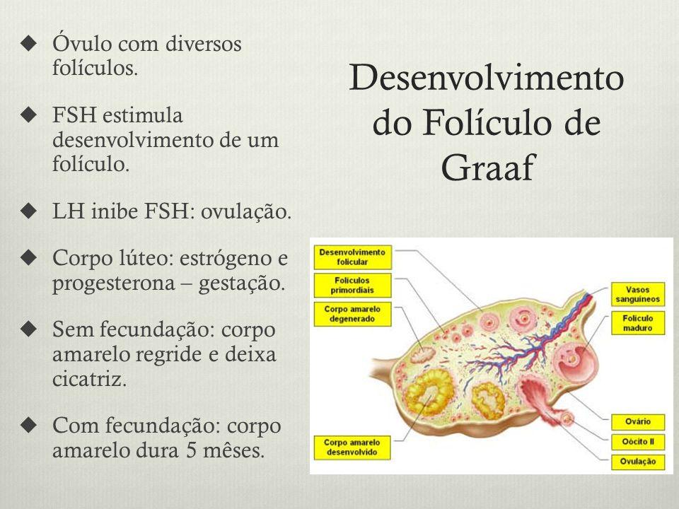 Desenvolvimento do Folículo de Graaf Óvulo com diversos folículos.
