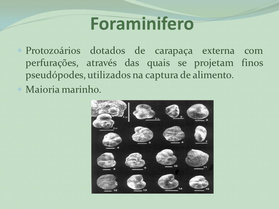 Foraminifero Protozoários dotados de carapaça externa com perfurações, através das quais se projetam finos pseudópodes, utilizados na captura de alime