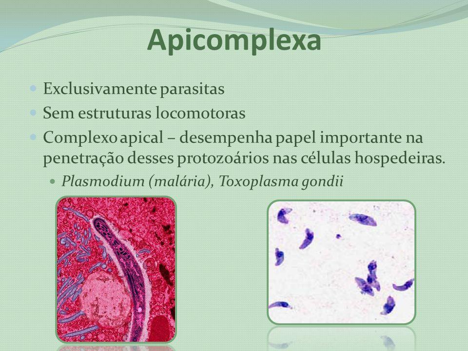 Apicomplexa Exclusivamente parasitas Sem estruturas locomotoras Complexo apical – desempenha papel importante na penetração desses protozoários nas cé
