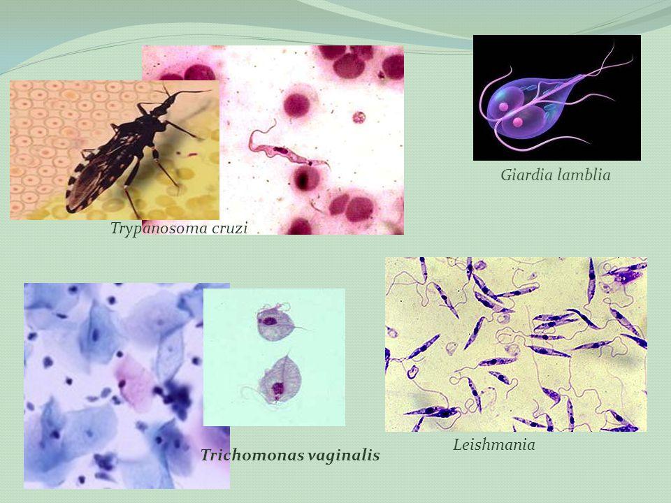 Trichomonas vaginalis Leishmania Trypanosoma cruzi Giardia lamblia