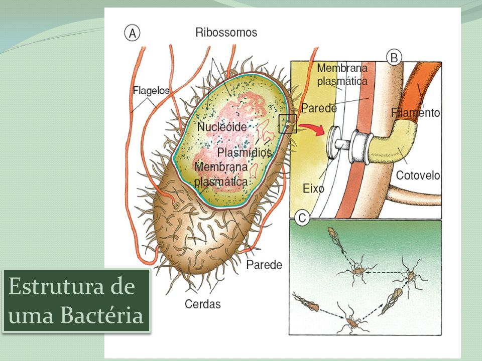 Estrutura de uma Bactéria Estrutura de uma Bactéria