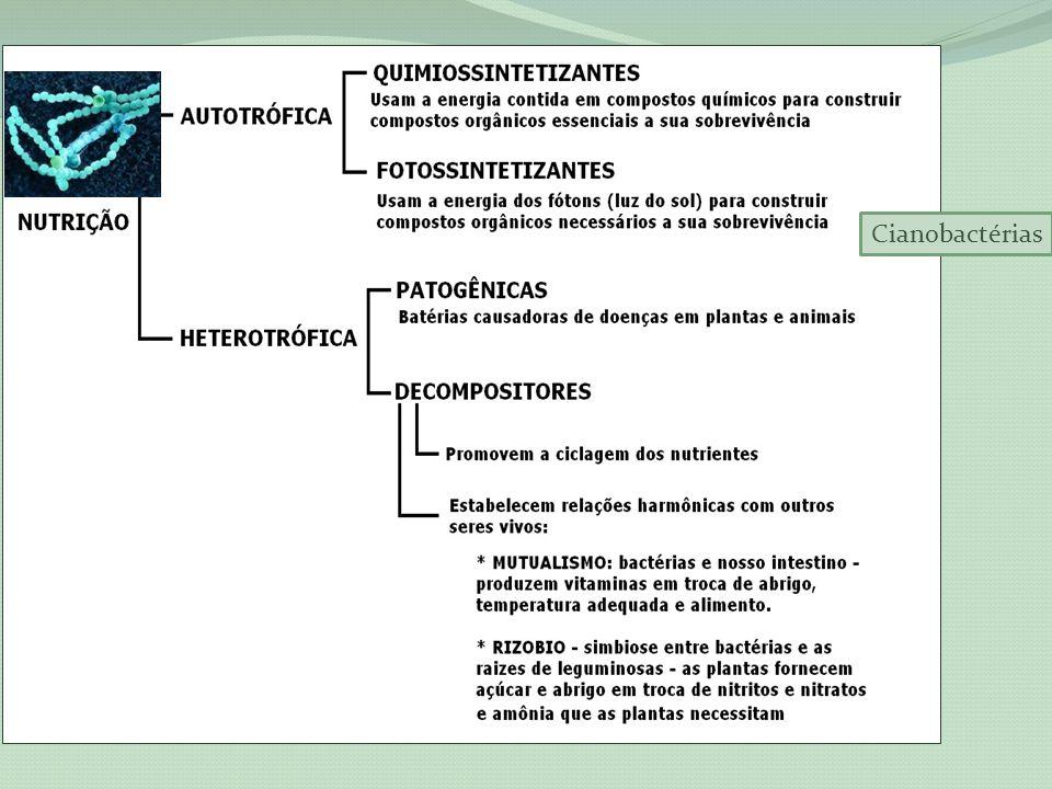 Reprodução Assexuada por divisão binária – a bactéria duplica o DNA e se divide ao meio, originando duas células idênticas; Esporulação – formação de endospóros (resistência a condições ambientais adversas); Transformação bacteriana – quando absorve fragmentos de DNA dispersos no meio; Transdução – recebe fragmento s de DNA de outras bactérias por meio de vírus bacteriófago.