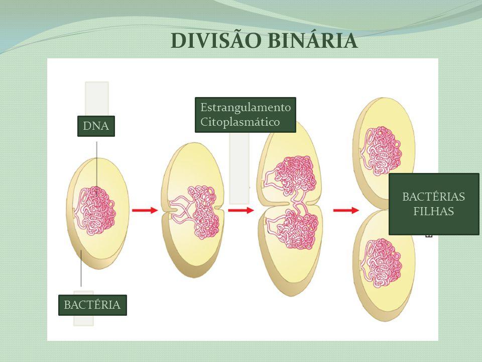BACTÉRIA DNA Estrangulamento Citoplasmático BACTÉRIAS FILHAS DIVISÃO BINÁRIA