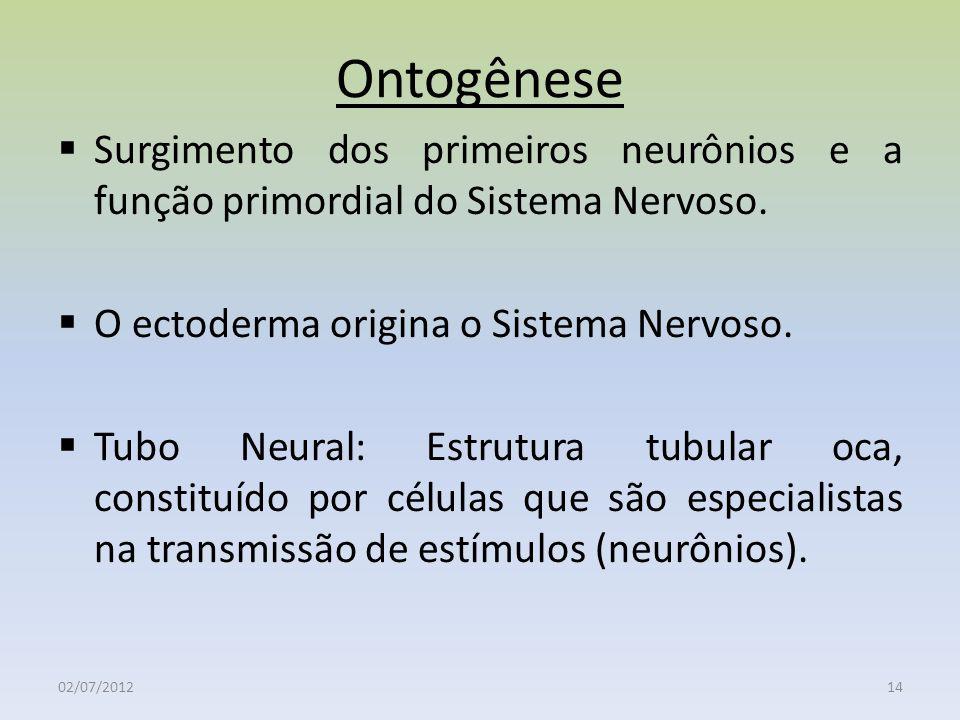 Ontogênese Surgimento dos primeiros neurônios e a função primordial do Sistema Nervoso. O ectoderma origina o Sistema Nervoso. Tubo Neural: Estrutura