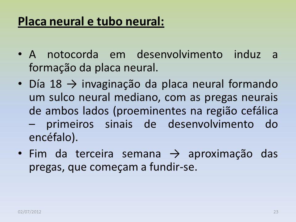 02/07/201223 Placa neural e tubo neural: A notocorda em desenvolvimento induz a formação da placa neural. Día 18 invaginação da placa neural formando