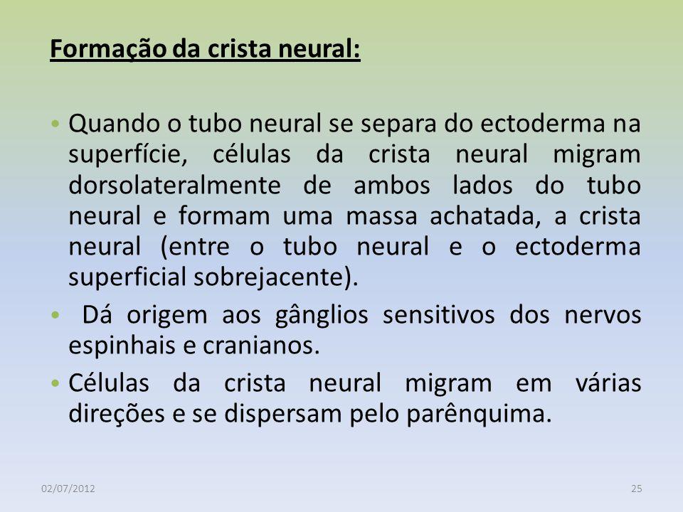 02/07/201225 Formação da crista neural: Quando o tubo neural se separa do ectoderma na superfície, células da crista neural migram dorsolateralmente d