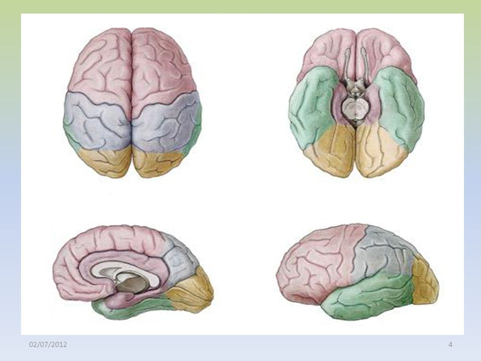 Telencéfalo: hemisférios cerebrais 02/07/201285