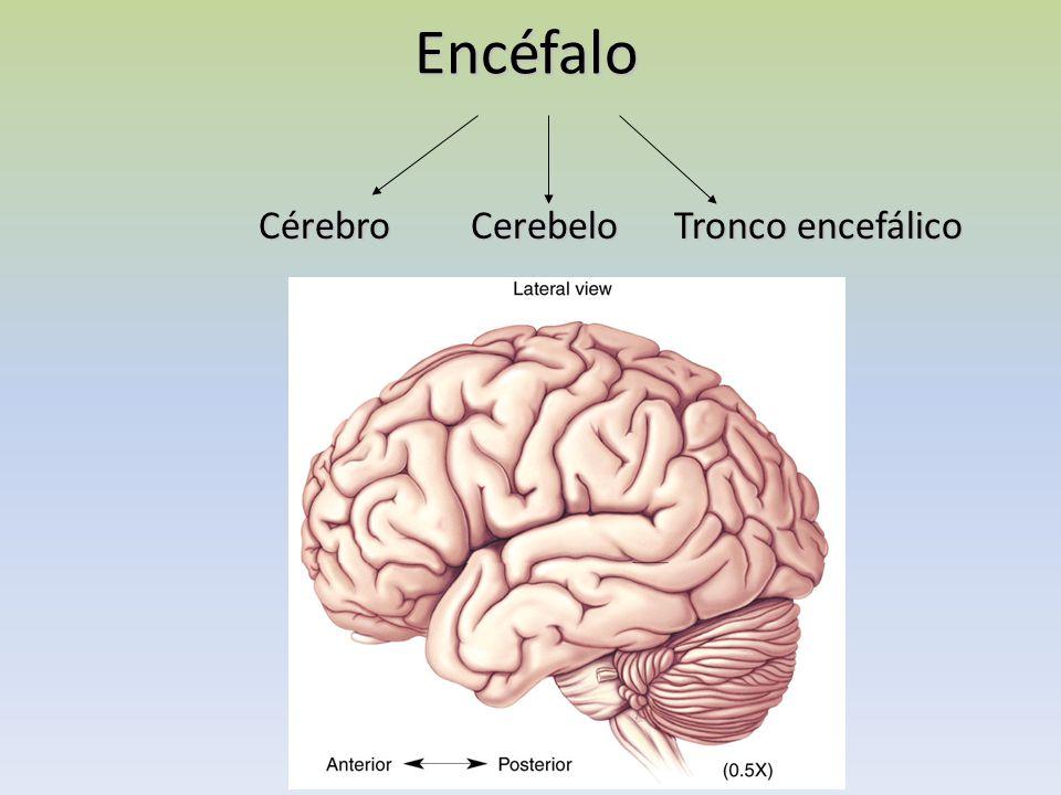Encéfalo CérebroCerebelo Tronco encefálico