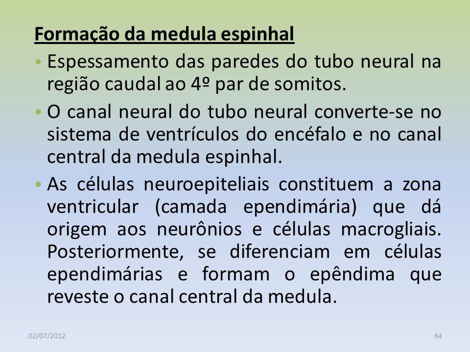 02/07/201264 Formação da medula espinhal Espessamento das paredes do tubo neural na região caudal ao 4º par de somitos. O canal neural do tubo neural