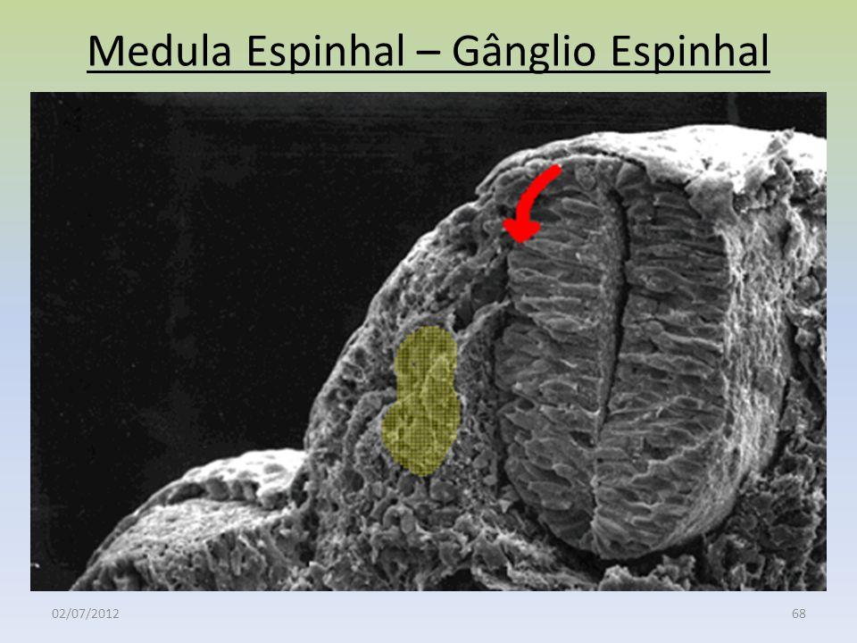 Medula Espinhal – Gânglio Espinhal 02/07/201268