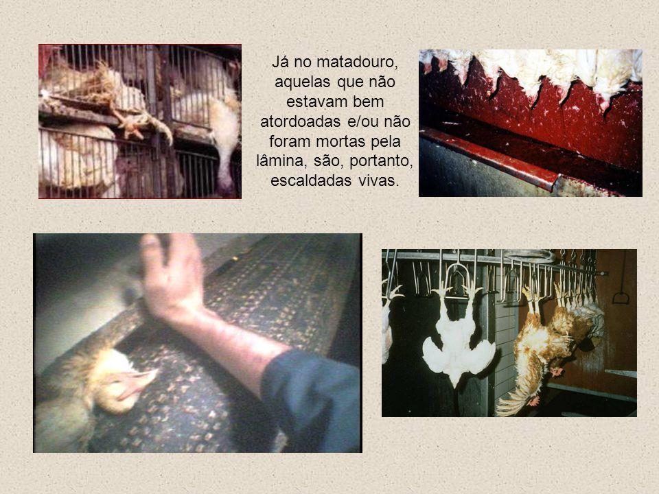 As galinhas gastas são levadas para o matadouro, famintas, ossos quebrados, em caixas abertas, sofrendo freqüentemente ferimentos. Não têm direito nem
