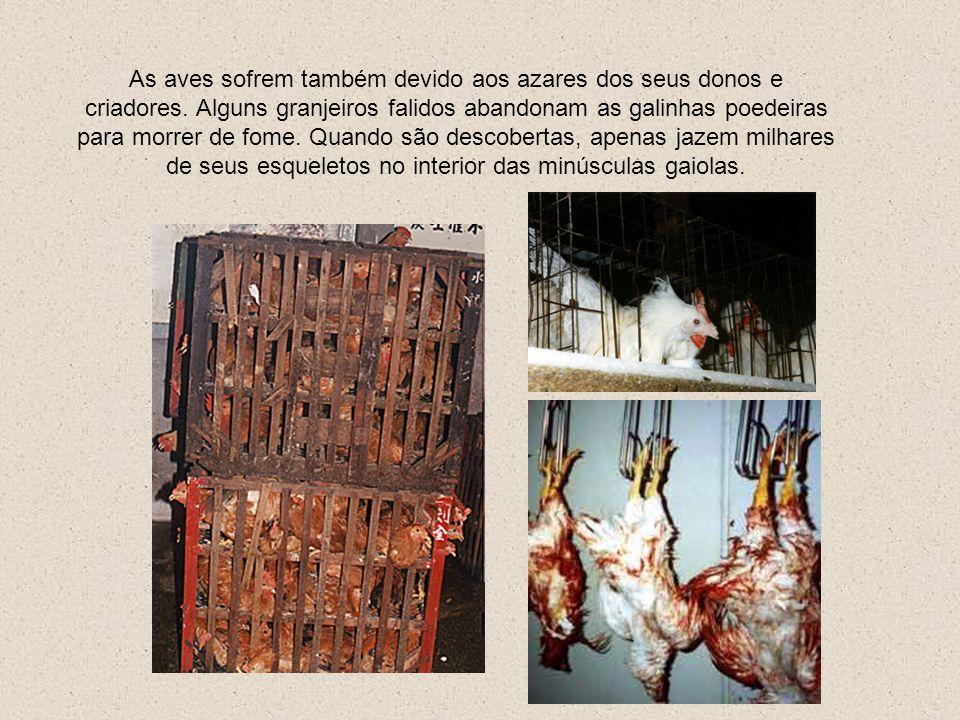 Esta última etapa não constituiria problema algum em um animal morto porém, como as indústrias tem acelerado o processo de abate em milhares de corpos