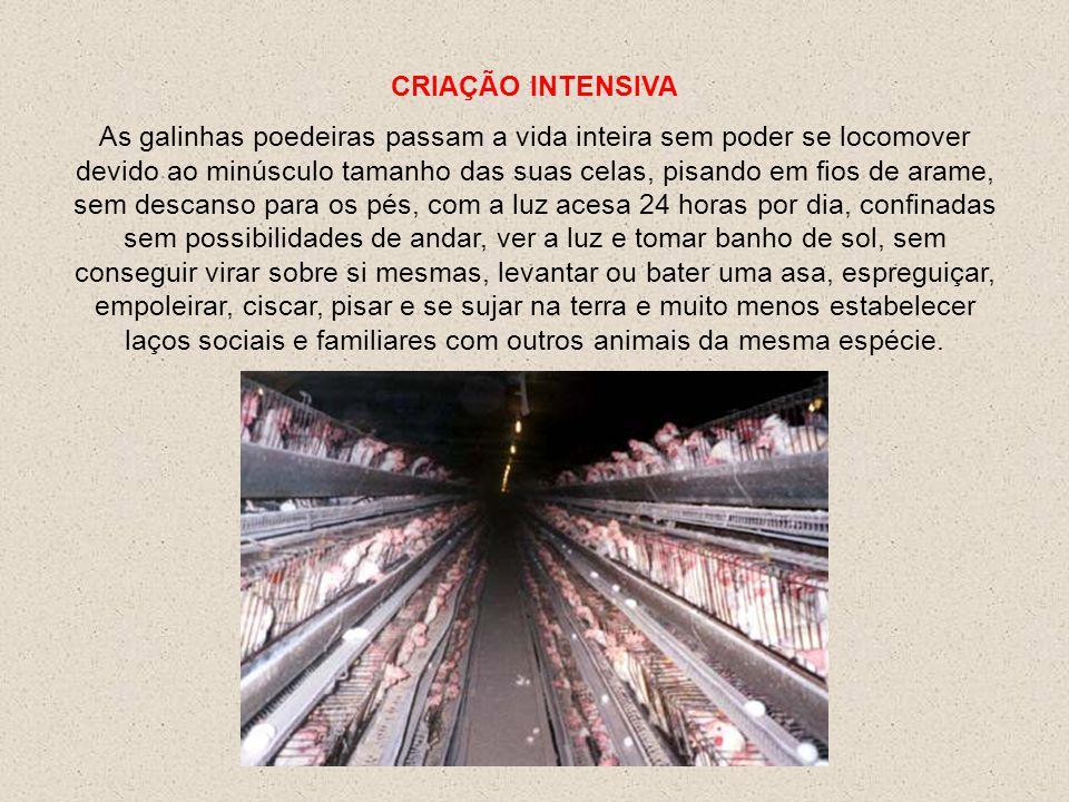 As galinhas gastas são levadas para o matadouro, famintas, ossos quebrados, em caixas abertas, sofrendo freqüentemente ferimentos.