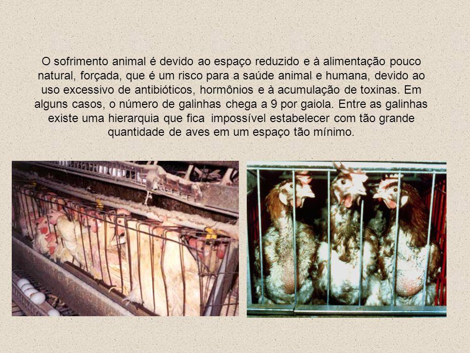 A criação industrial intensiva de galinhas as obriga serem mantidas em condições pouco naturais, pois a concentração de animais em espaços muito reduz