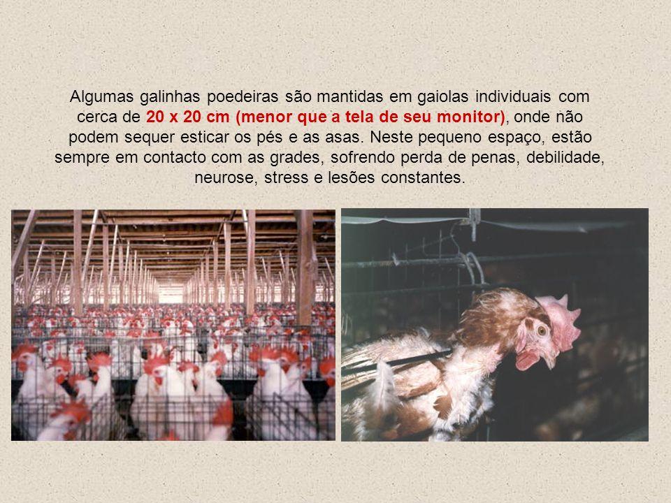 Algumas galinhas poedeiras são mantidas em gaiolas individuais com cerca de 20 x 20 cm (menor que a tela de seu monitor), onde não podem sequer esticar os pés e as asas.