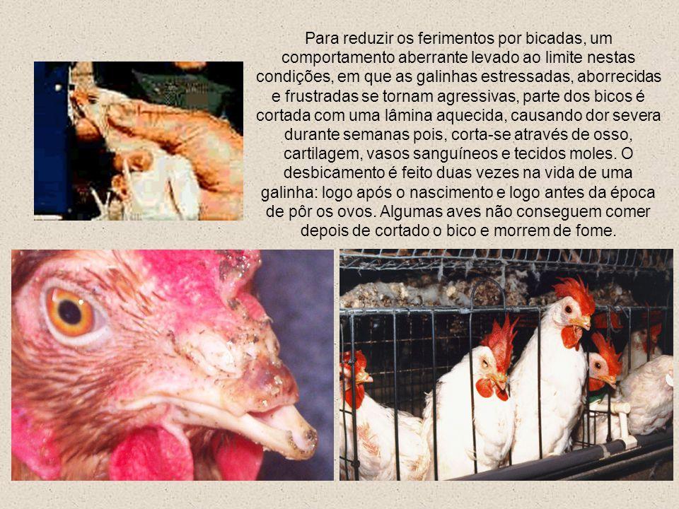 Algumas galinhas poedeiras são mantidas em gaiolas individuais com cerca de 20 x 20 cm (menor que a tela de seu monitor), onde não podem sequer estica