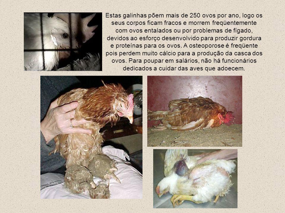 Para reduzir os ferimentos por bicadas, um comportamento aberrante levado ao limite nestas condições, em que as galinhas estressadas, aborrecidas e fr