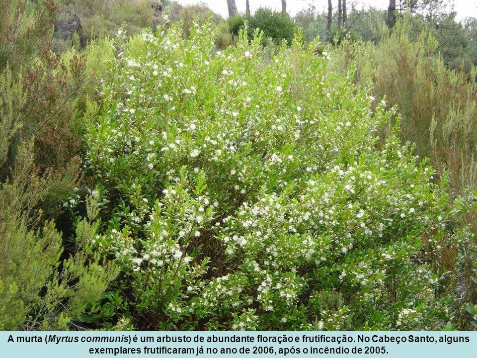 A murta (Myrtus communis) é um arbusto de abundante floração e frutificação.