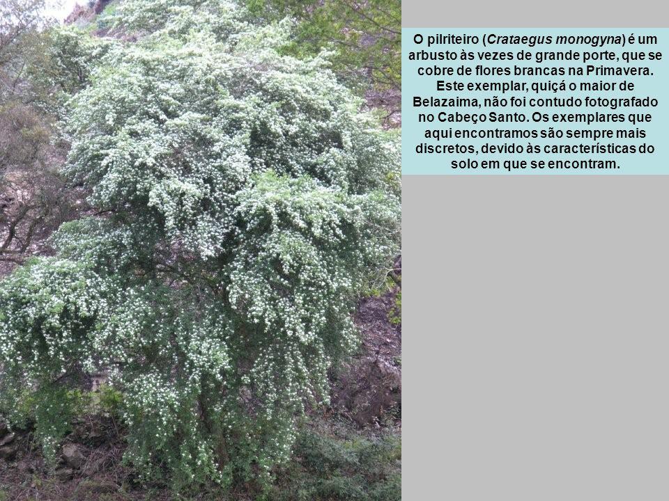 O pilriteiro (Crataegus monogyna) é um arbusto às vezes de grande porte, que se cobre de flores brancas na Primavera.
