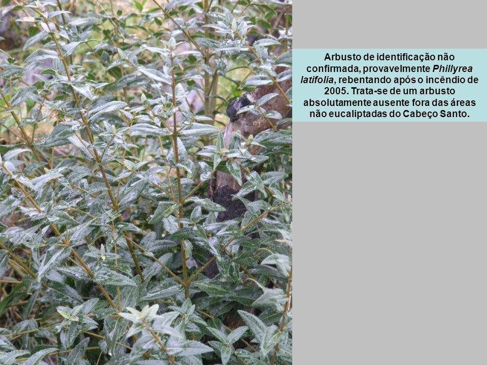 Arbusto de identificação não confirmada, provavelmente Phillyrea latifolia, rebentando após o incêndio de 2005.