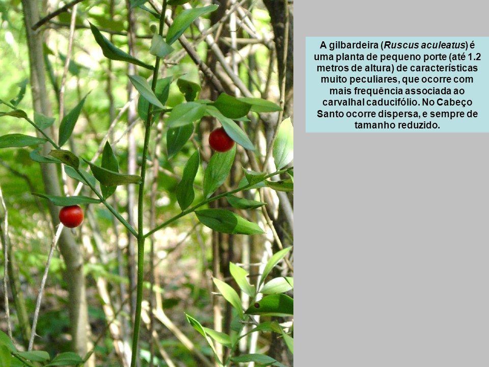 A gilbardeira (Ruscus aculeatus) é uma planta de pequeno porte (até 1.2 metros de altura) de características muito peculiares, que ocorre com mais frequência associada ao carvalhal caducifólio.