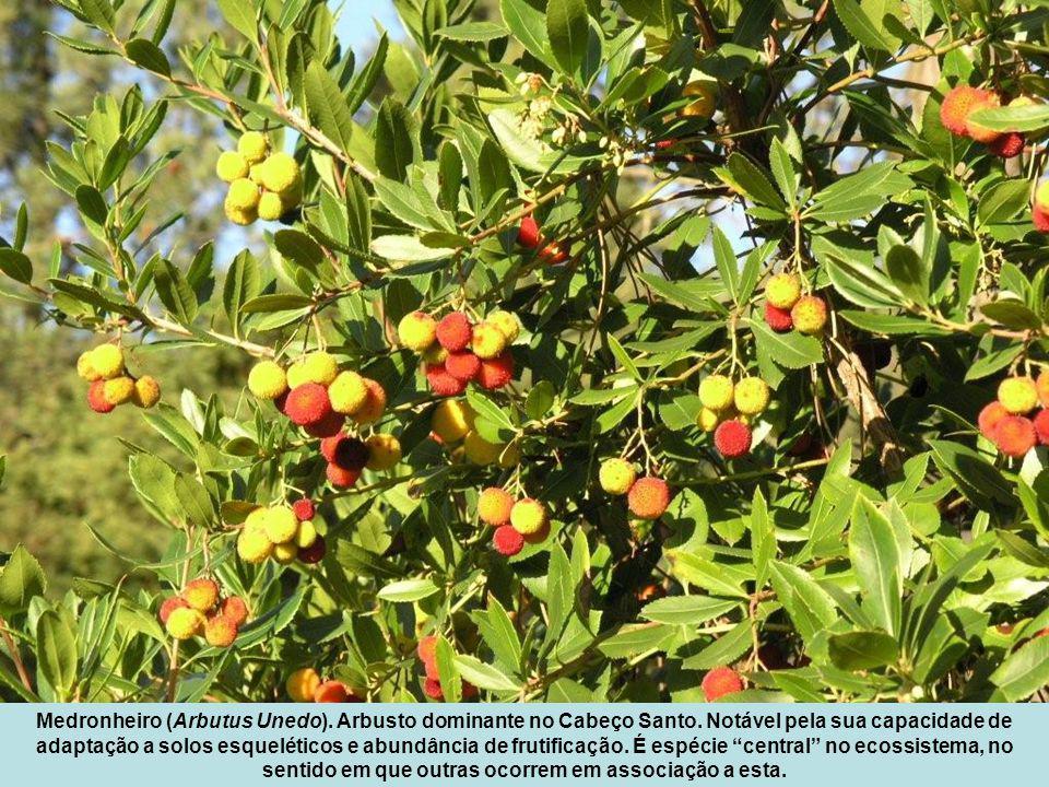 Medronheiro (Arbutus Unedo).Arbusto dominante no Cabeço Santo.