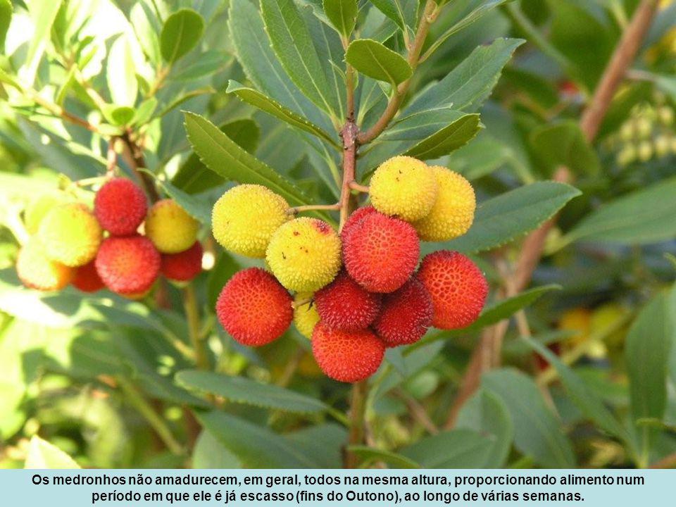Os medronhos não amadurecem, em geral, todos na mesma altura, proporcionando alimento num período em que ele é já escasso (fins do Outono), ao longo de várias semanas.