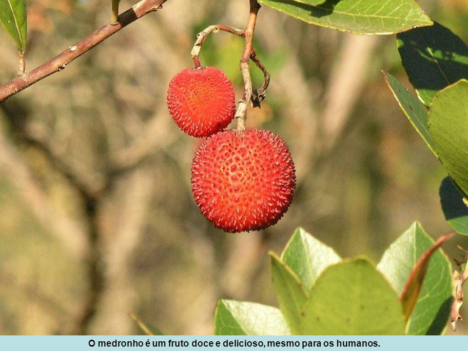 Sanguinho (Frangula alnus), um arbusto escasso no Cabeço Santo, já que é mais frequente associado ao ambiente do carvalhal caducifólio.