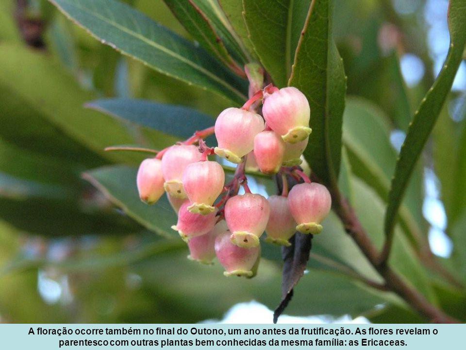 A floração ocorre também no final do Outono, um ano antes da frutificação.