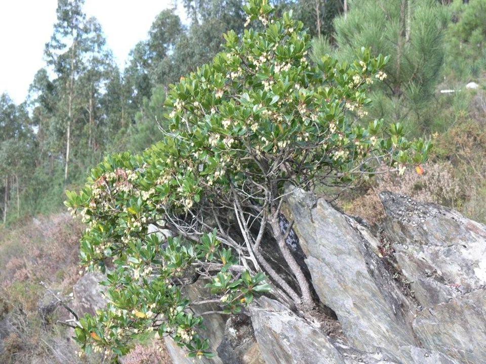 Mesmo um medronheiro crescendo em cima de uma rocha pode florescer abundantemente.