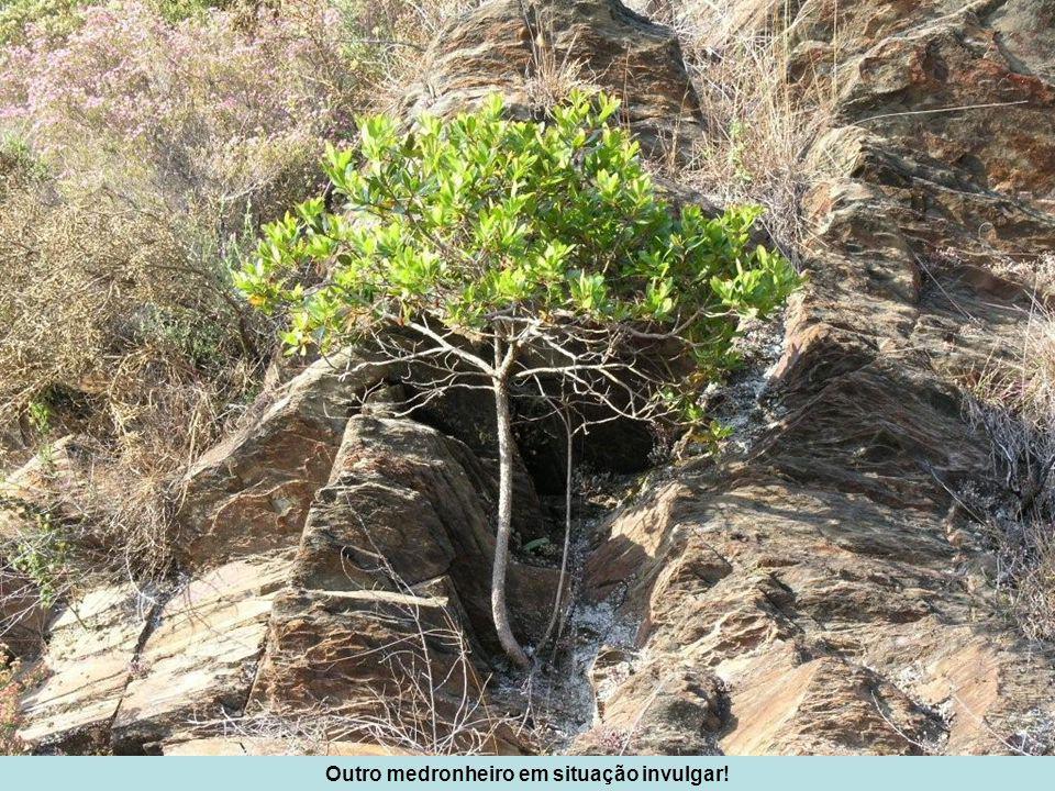O sobreiro (Quercus suber) é uma árvore de ocorrência pontual no Cabeço Santo, e em geral de pequeno porte, devido às características do solo.