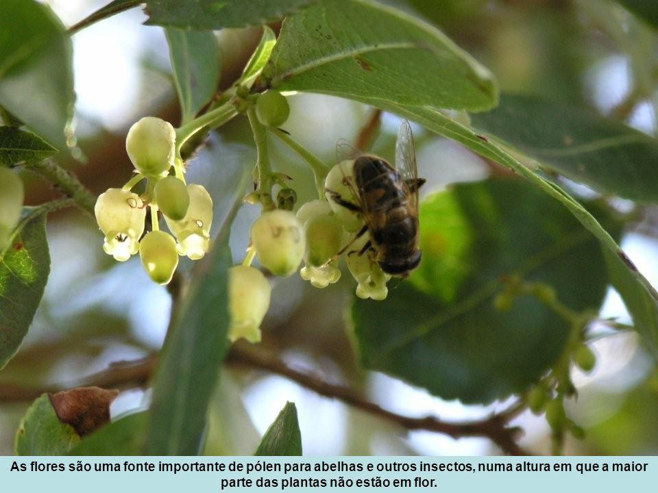 As flores são uma fonte importante de pólen para abelhas e outros insectos, numa altura em que a maior parte das plantas não estão em flor.