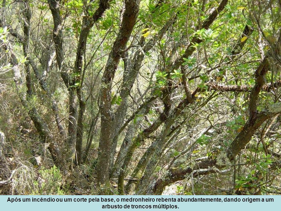 Após um incêndio ou um corte pela base, o medronheiro rebenta abundantemente, dando origem a um arbusto de troncos múltiplos.
