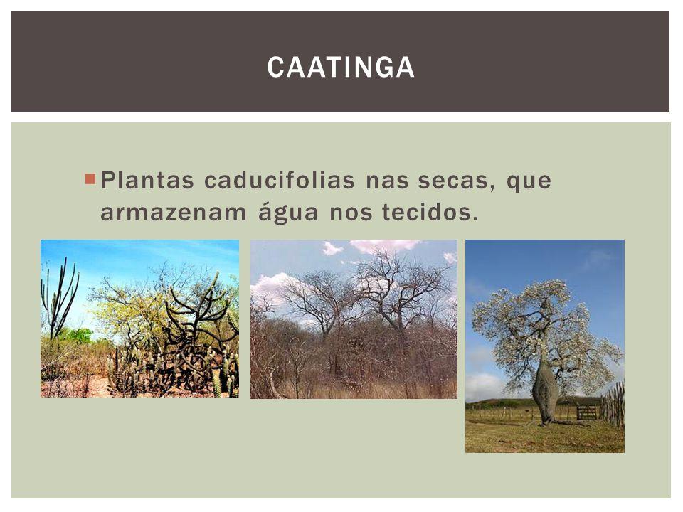 Plantas caducifolias nas secas, que armazenam água nos tecidos. CAATINGA