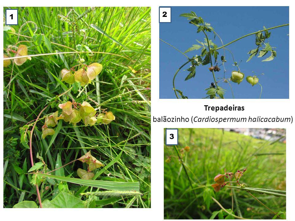 Trepadeiras balãozinho (Cardiospermum halicacabum) 1 2 3