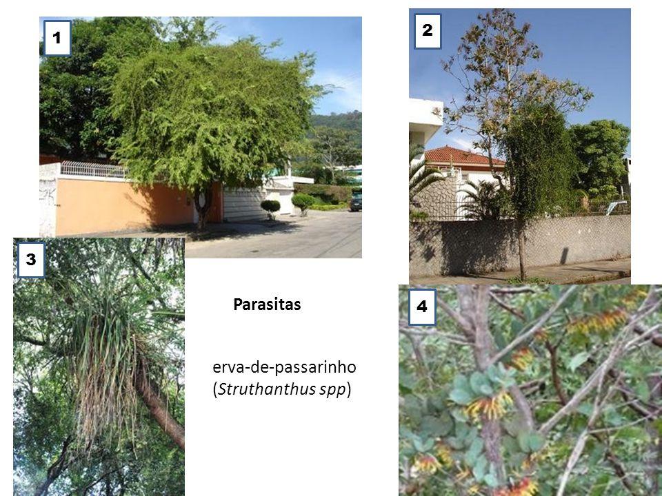 Parasitas erva-de-passarinho (Struthanthus spp) 1 2 3 4