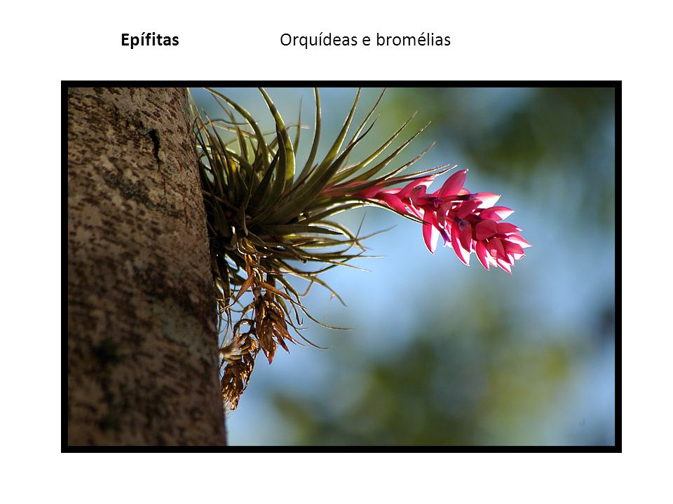 EpífitasOrquídeas e bromélias