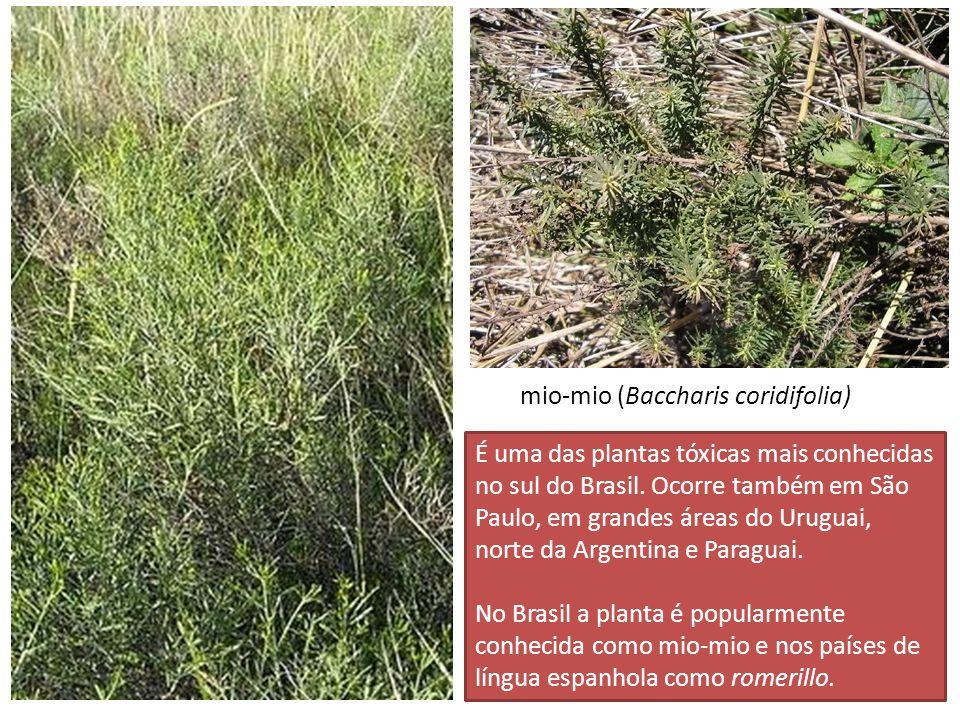 É uma das plantas tóxicas mais conhecidas no sul do Brasil. Ocorre também em São Paulo, em grandes áreas do Uruguai, norte da Argentina e Paraguai. No
