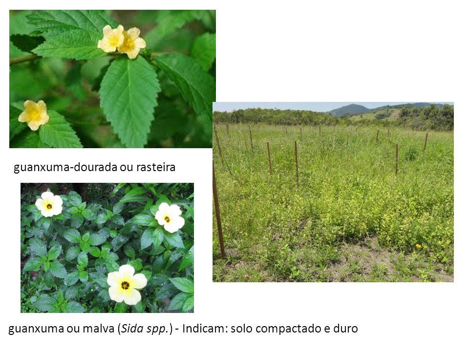 guanxuma-dourada ou rasteira guanxuma ou malva (Sida spp.) - Indicam: solo compactado e duro