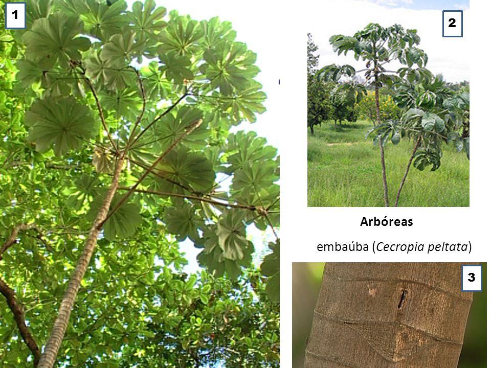 embaúba (Cecropia peltata) Arbóreas 1 2 3