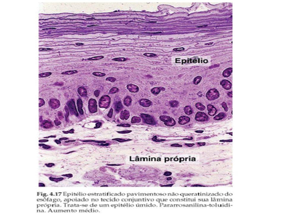 Epítelio glandular Fig 2.3