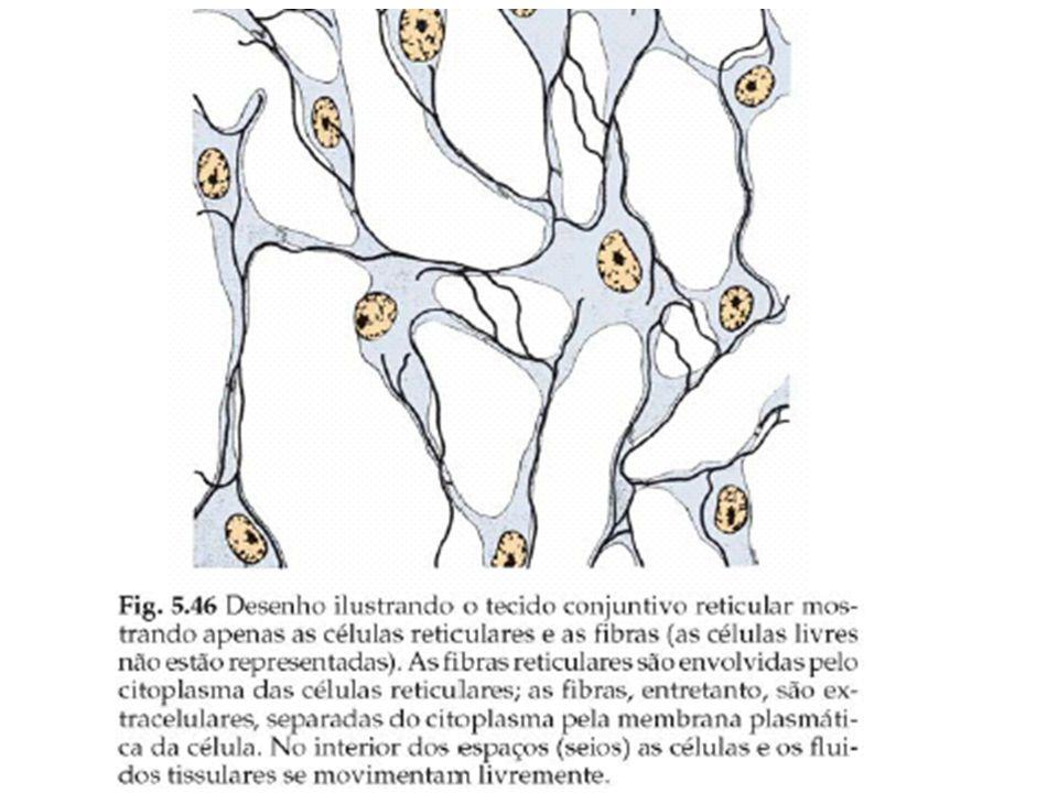 Tecidos conjuntivos especializados tecido adiposo