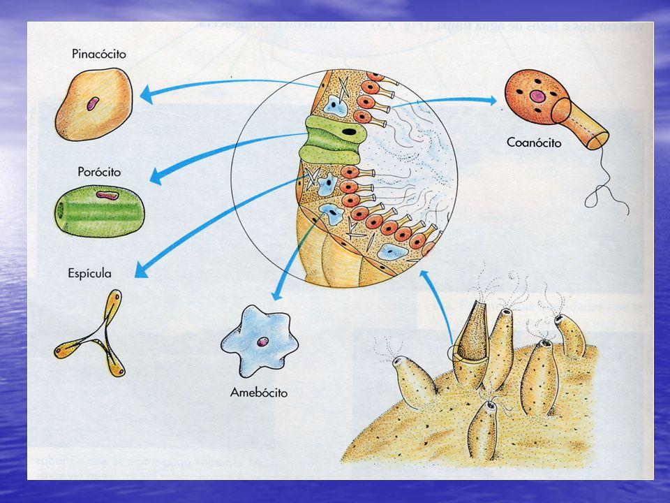 Locomoção: Cambalhotas (hidra) Locomoção: Cambalhotas (hidra) Flutuar (caravela) Pressão: (medusa) Deslizamento: (anêmona)