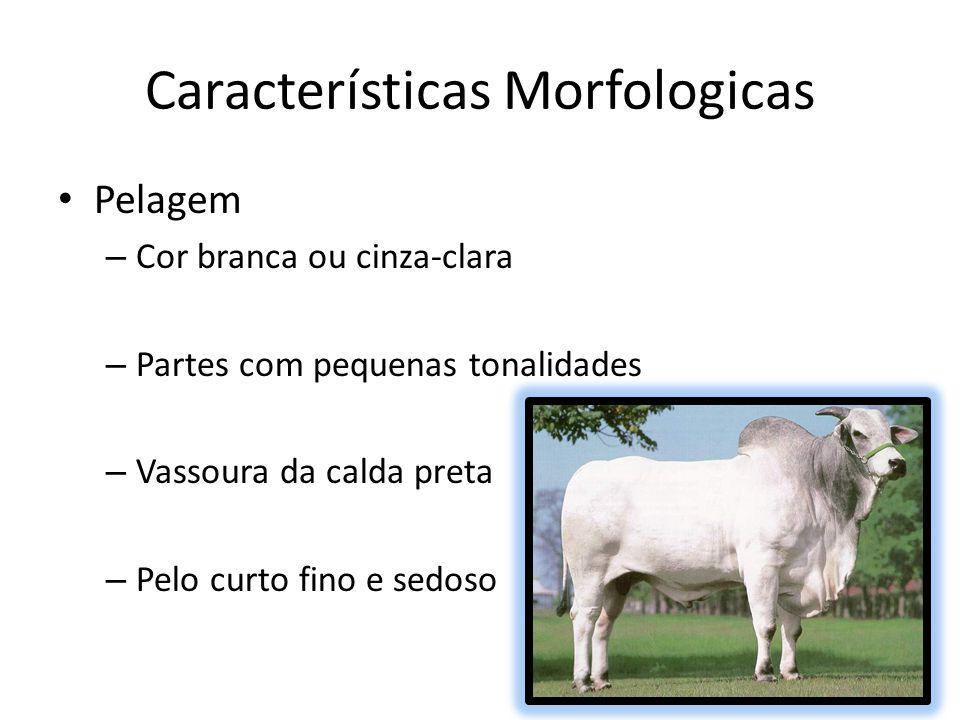 Características Morfologicas Pelagem – Cor branca ou cinza-clara – Partes com pequenas tonalidades – Vassoura da calda preta – Pelo curto fino e sedos